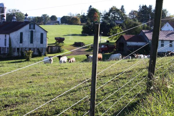 cattle longhorn