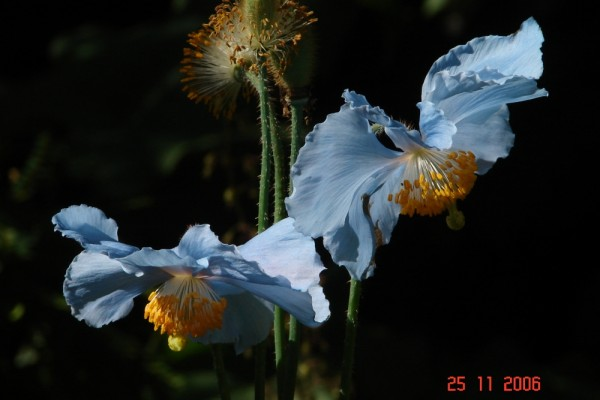 himalayan poppies.