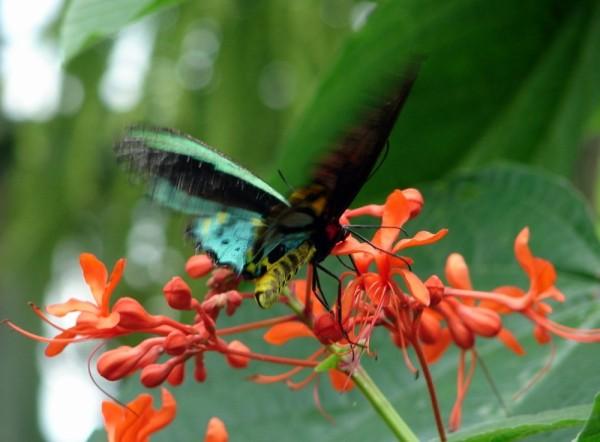Green Flash of butterfly wings