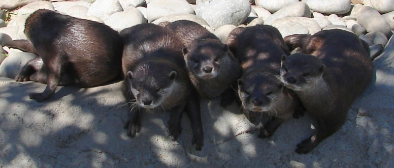 Otters in line