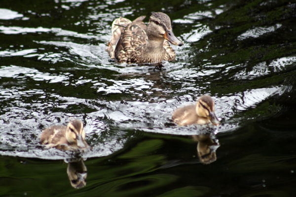 Mother duck at the rear!