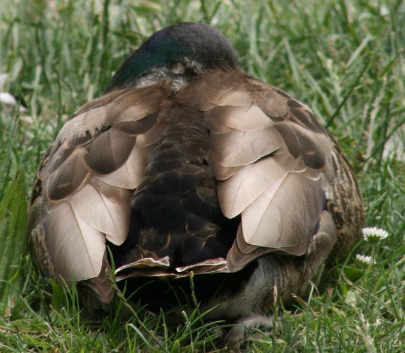 On a Ducks Back.