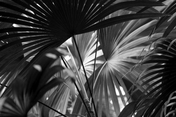 Black and white Palms.