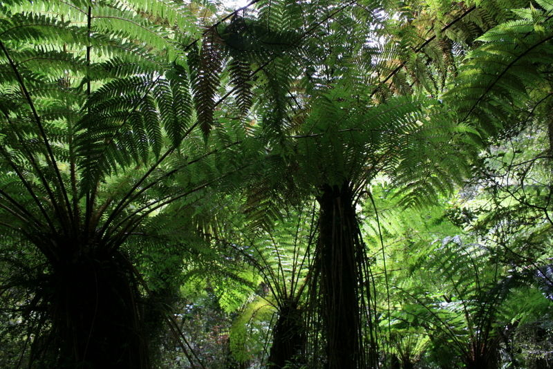 Canopy of Ferns. /1