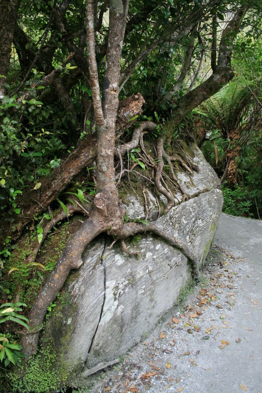 Tree cracking rock.