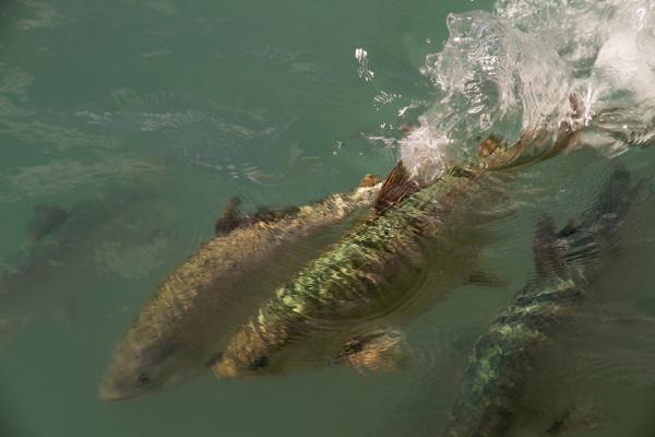 Swift Salmon