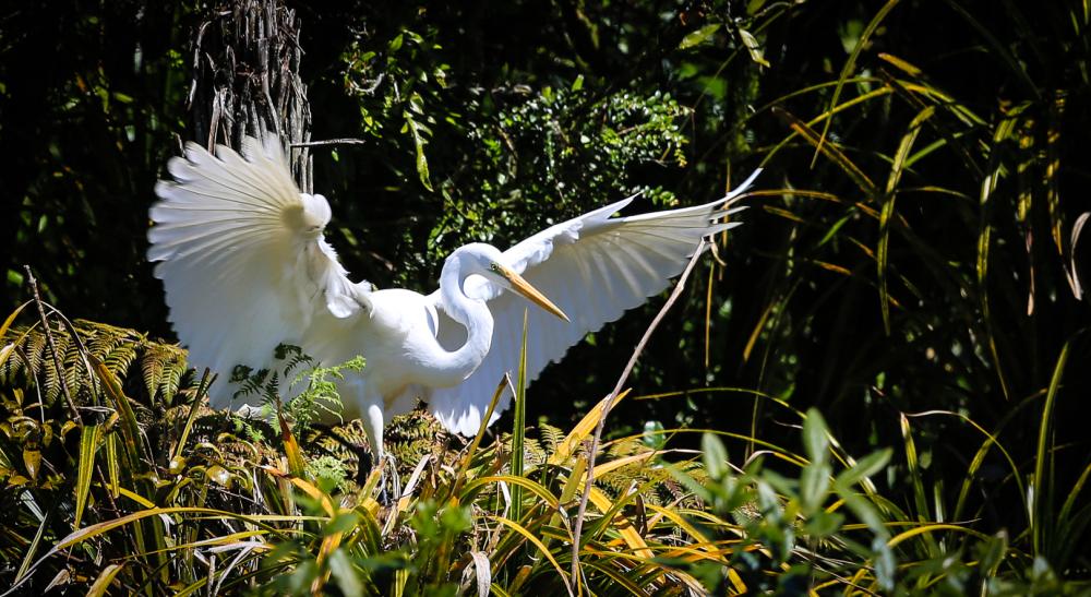 Kotuku, or White Heron  no1
