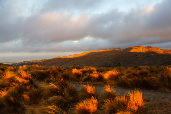 Evening glow on tussocks