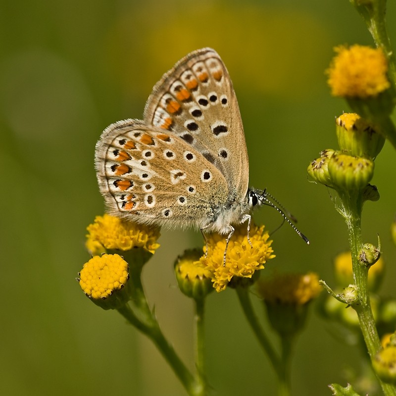 Common Blue, butterfly, Icarusblauwtje