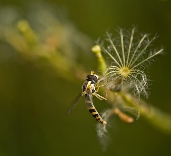 Hoverfly, zweefvlieg, macro