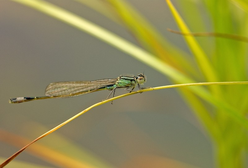Damselfly, waterjuffer, Tokina100mm, insect