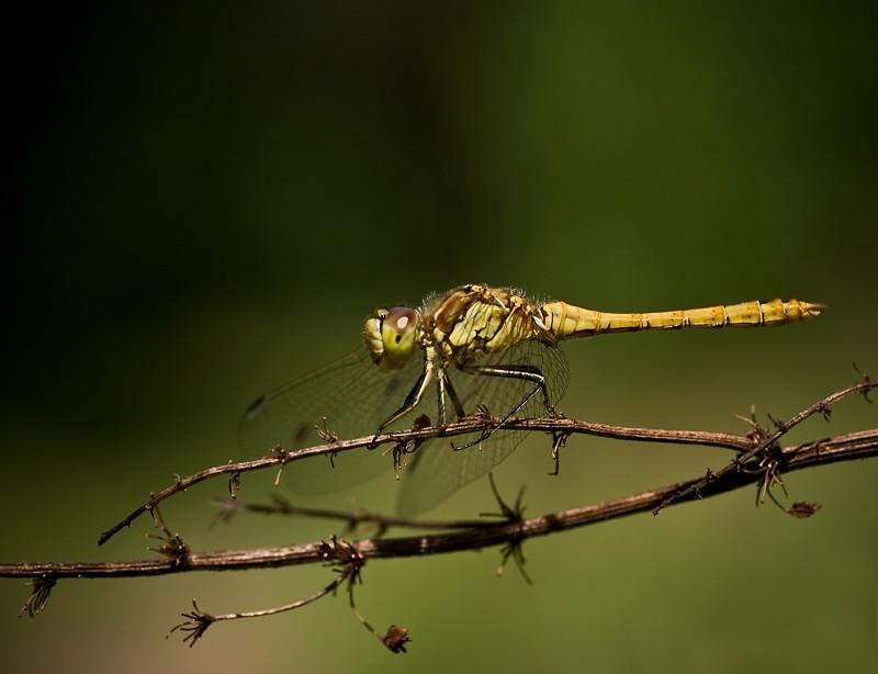 Dragonfly, Vagrant darter
