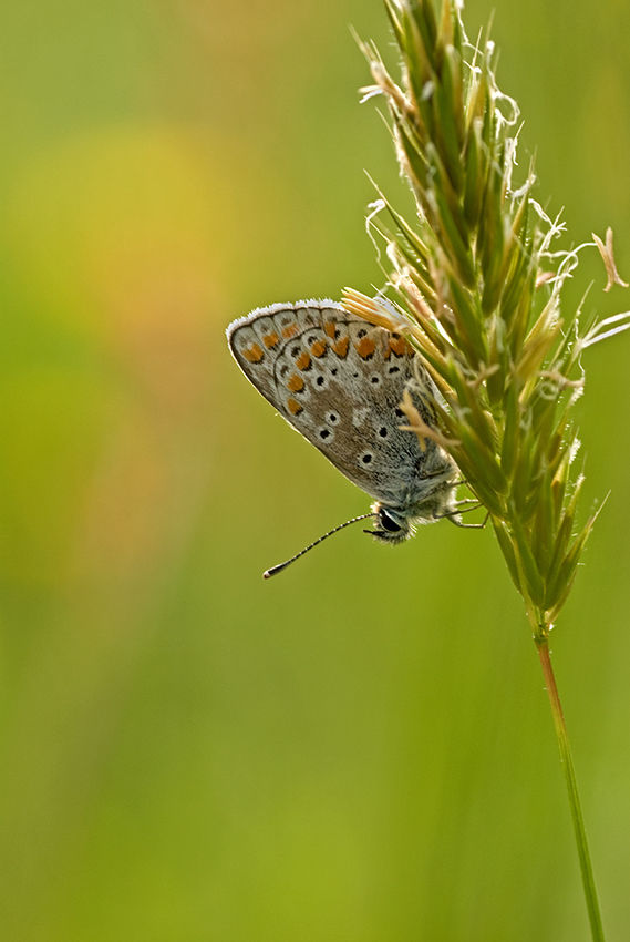 Brown Argus, butterfly