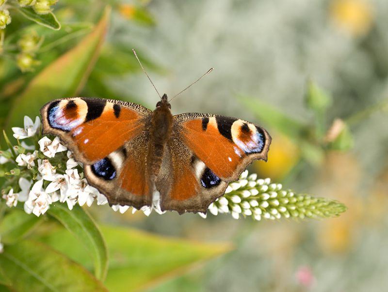 Butterfly, Dagpauwoog