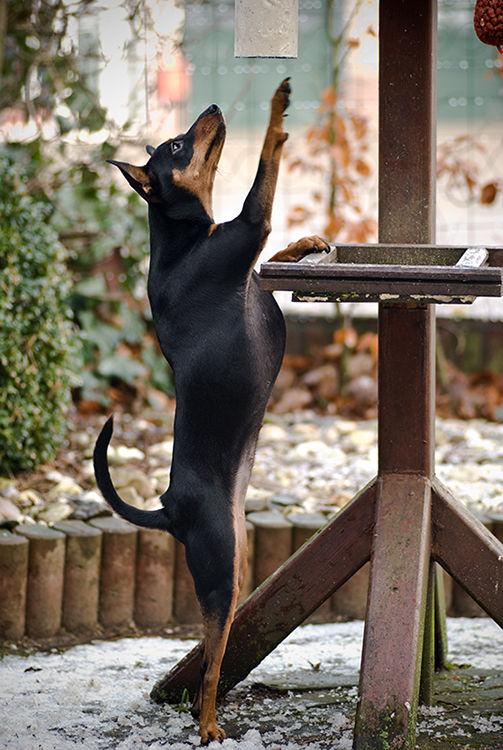 Snobby, dog, miniature pinscher