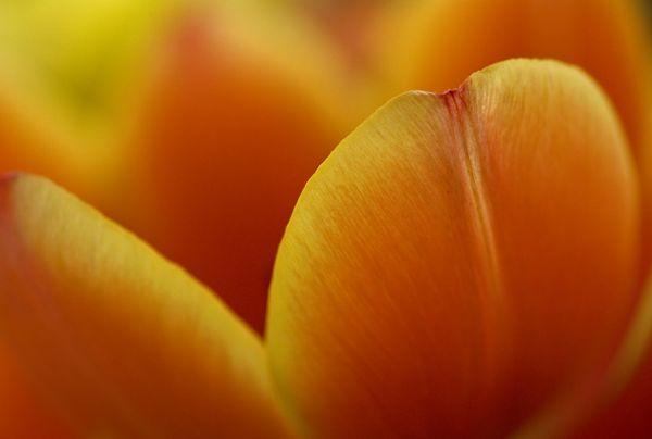 tulip, macro
