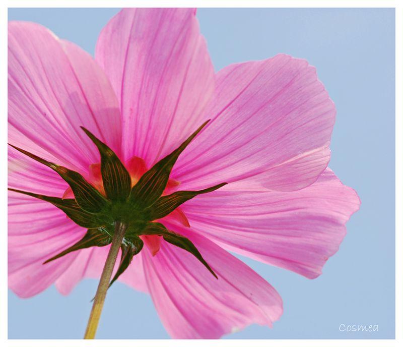 Cosmea, bloem, flower, Cosmos bippinatus