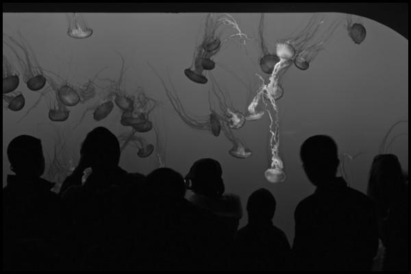 Jellyfish Tank, Monterey Bay Aquarium