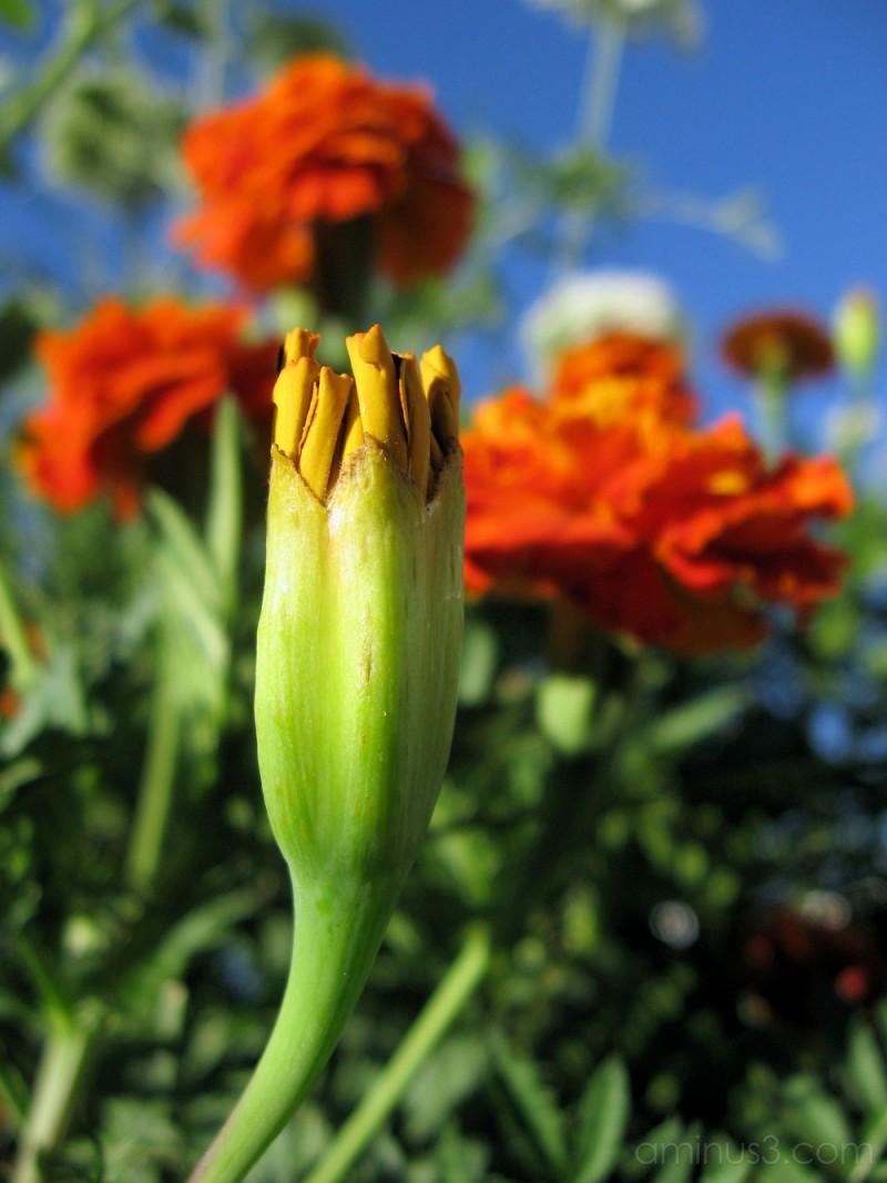 marigold flower blooming in a garden