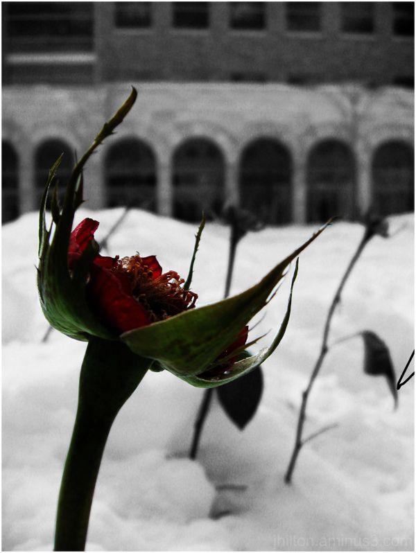 winter rose #2
