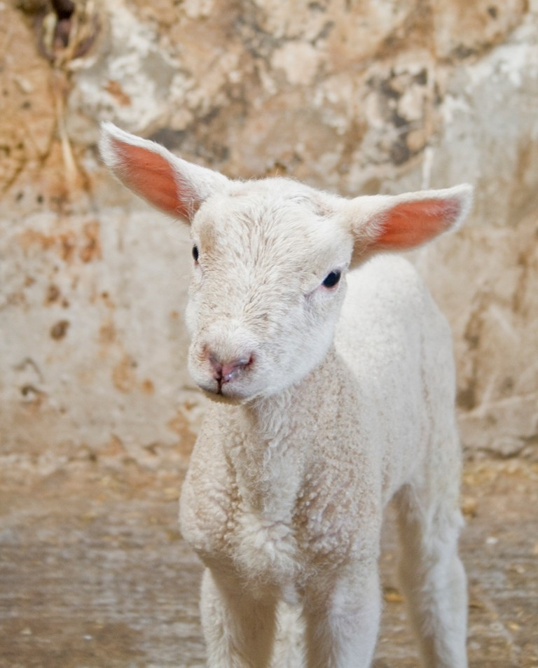Oliver the Lamb