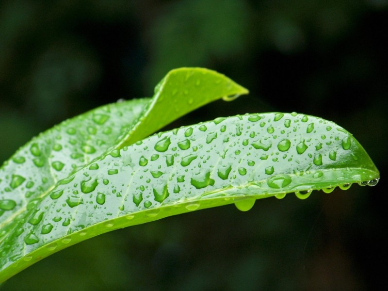 drops on a bright green leaf