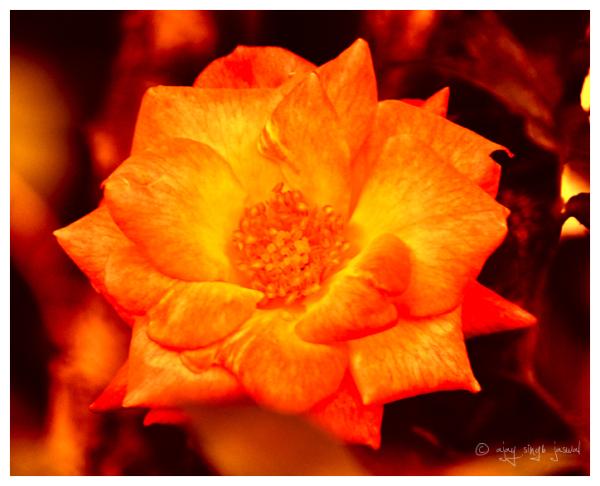 Buring Rose