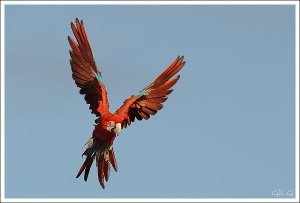parrot perroquet