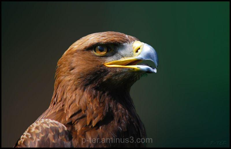 eye,eagle