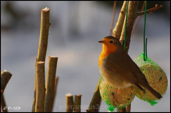 Redbreast, robin, Eritharacus rubecula