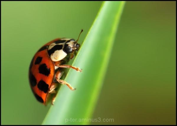 The multicolored Asian ladybird -Harmonia axyridis
