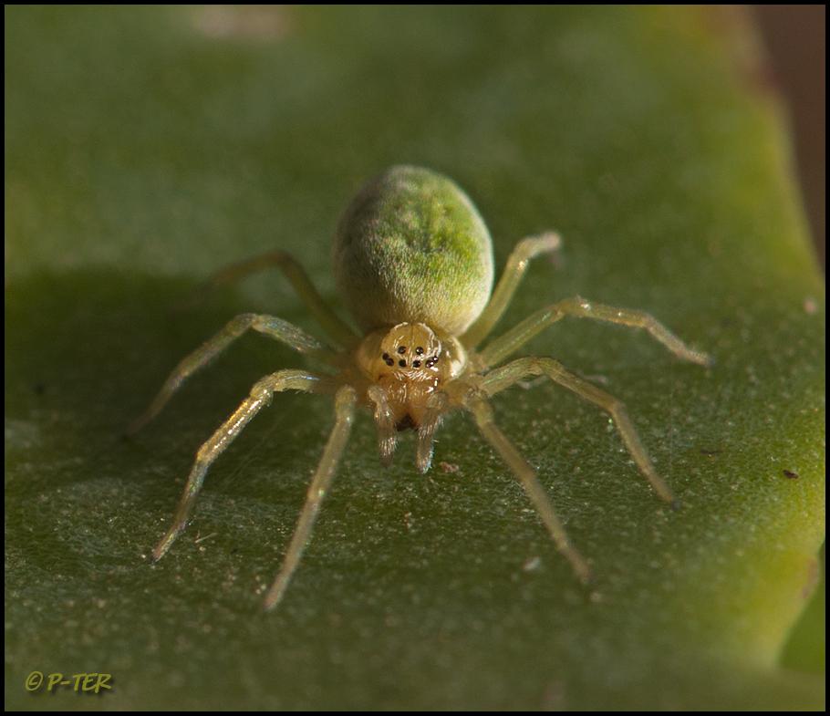 Cribellate Spider