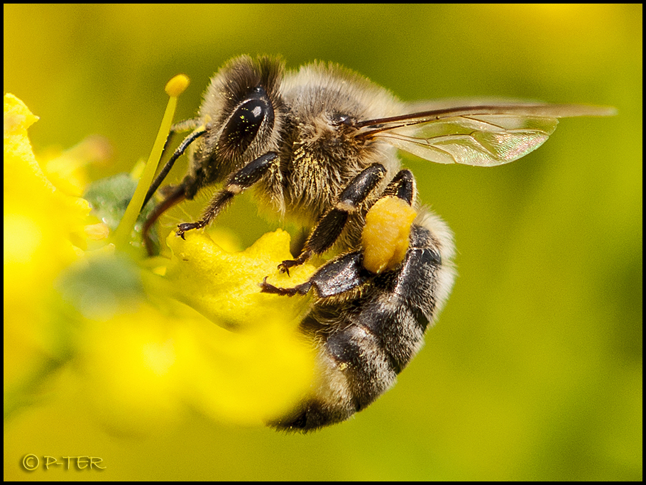 Pollen taker