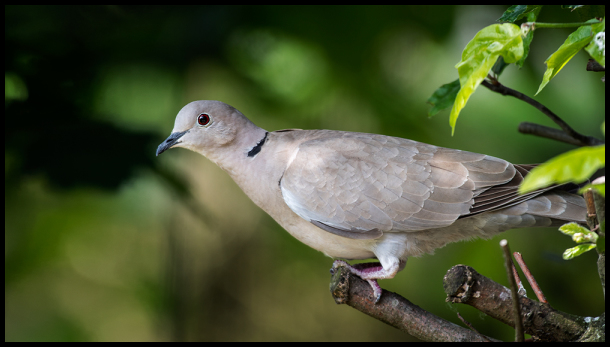 turkish tortel pigeon garden tree bird duif