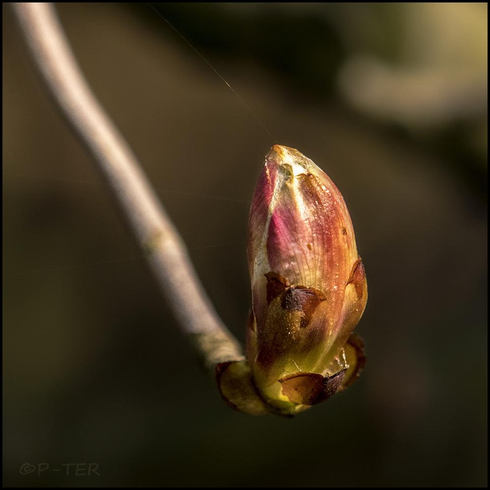 Wild chestnut.