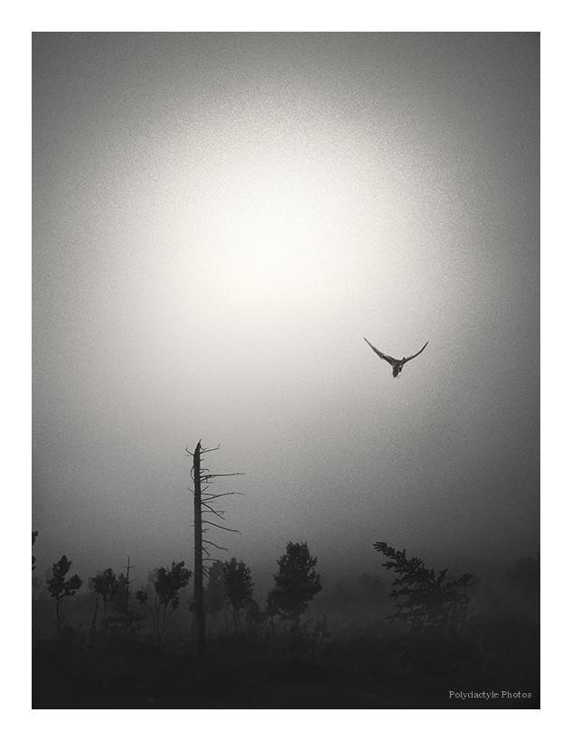 Oiseau des brumes