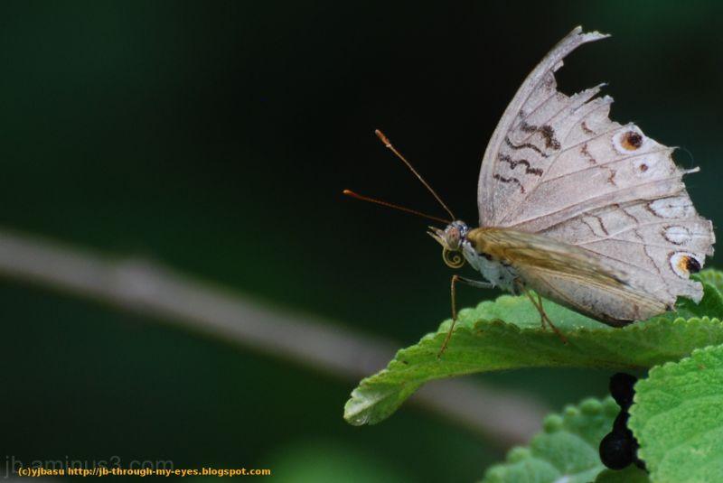 Butterfly JB