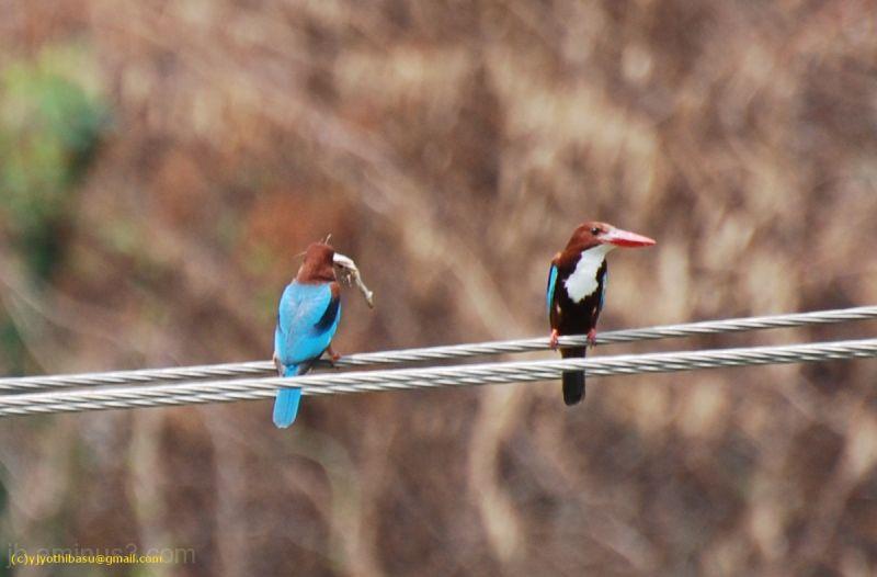 bird, manjeera, jb