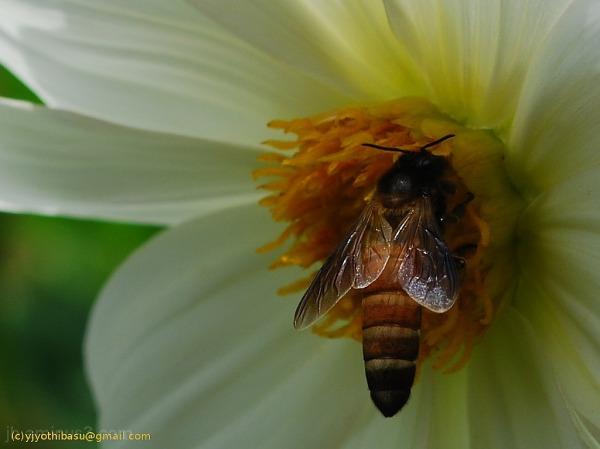 Bee JB flower