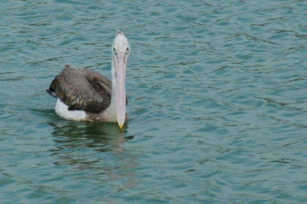 bird upplapadu guntur pelican