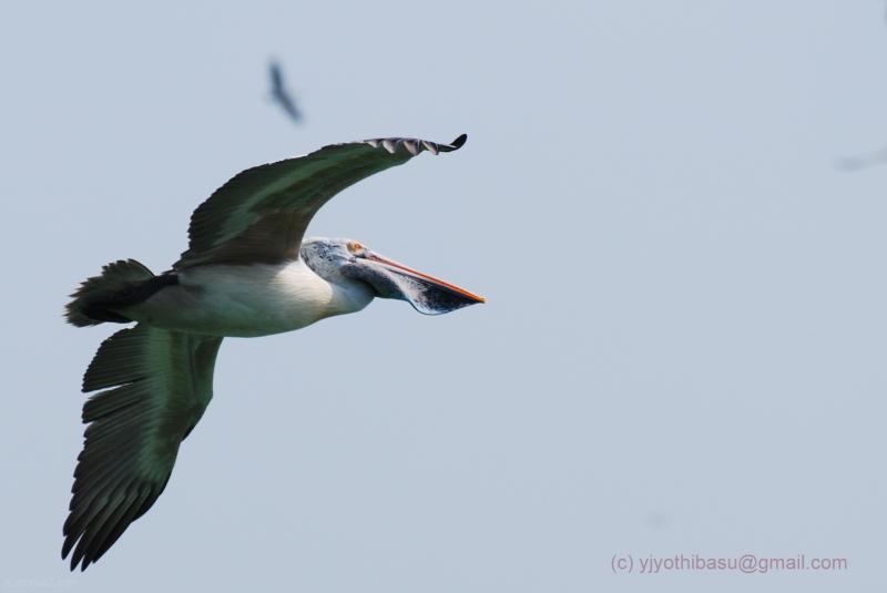 Uppalapadu Bird Pelican