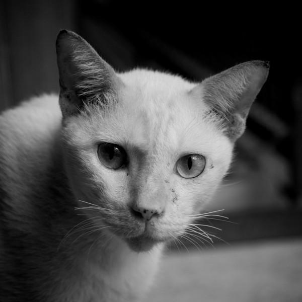 A Temple Cat