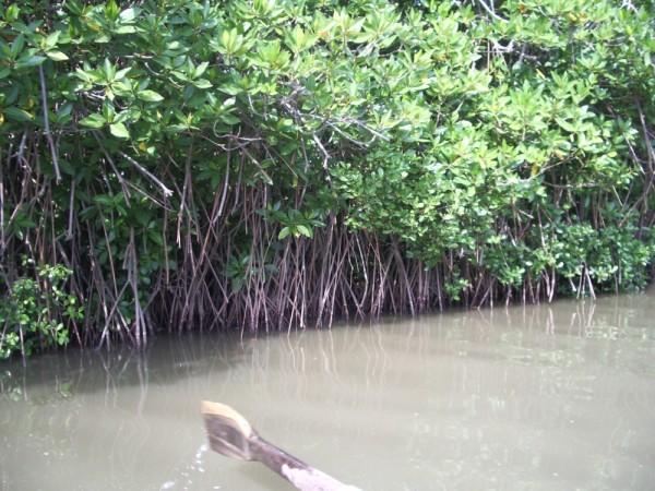 PICHAVARAM'S MANGROOVE FOREST