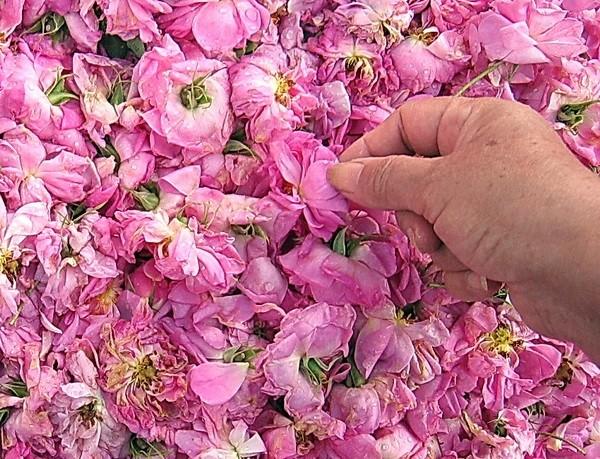 Picking Pink
