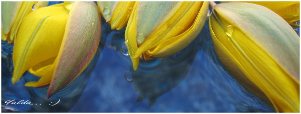 yellow tulips blue water color