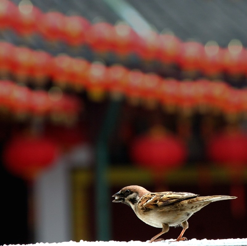 Sparrow and Lanterns