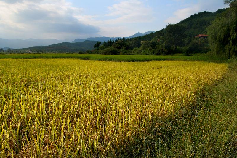 Rice Farm, Wuyishan