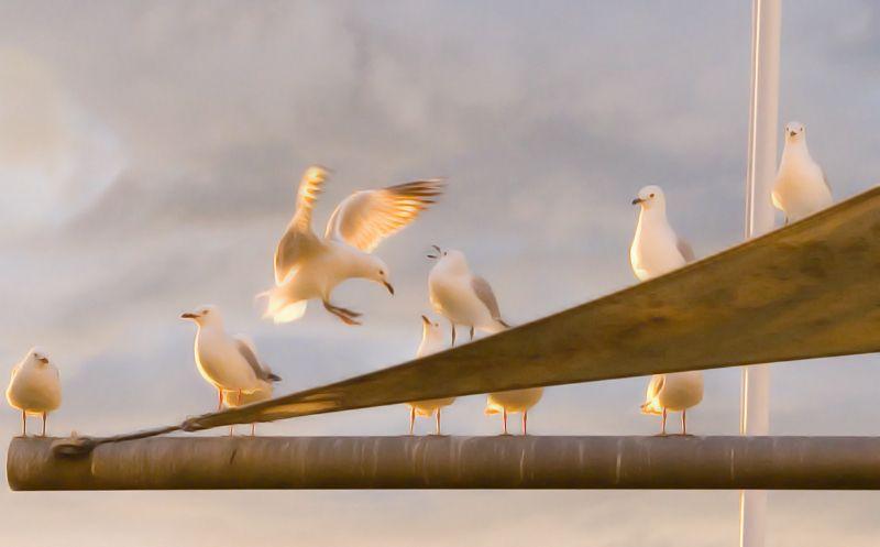 Birds, Nelson