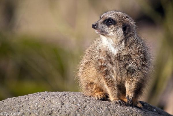 Meerkat - Burgers Zoo, Arnhem