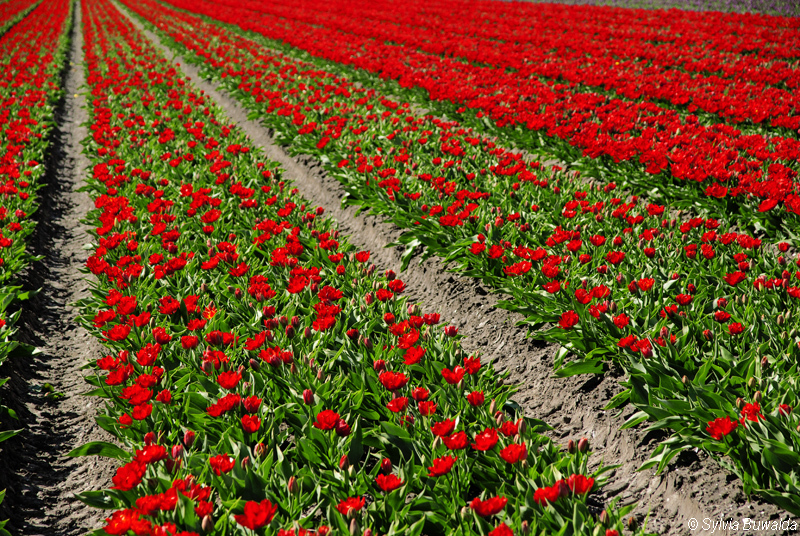 Spring 2012 - red tulips